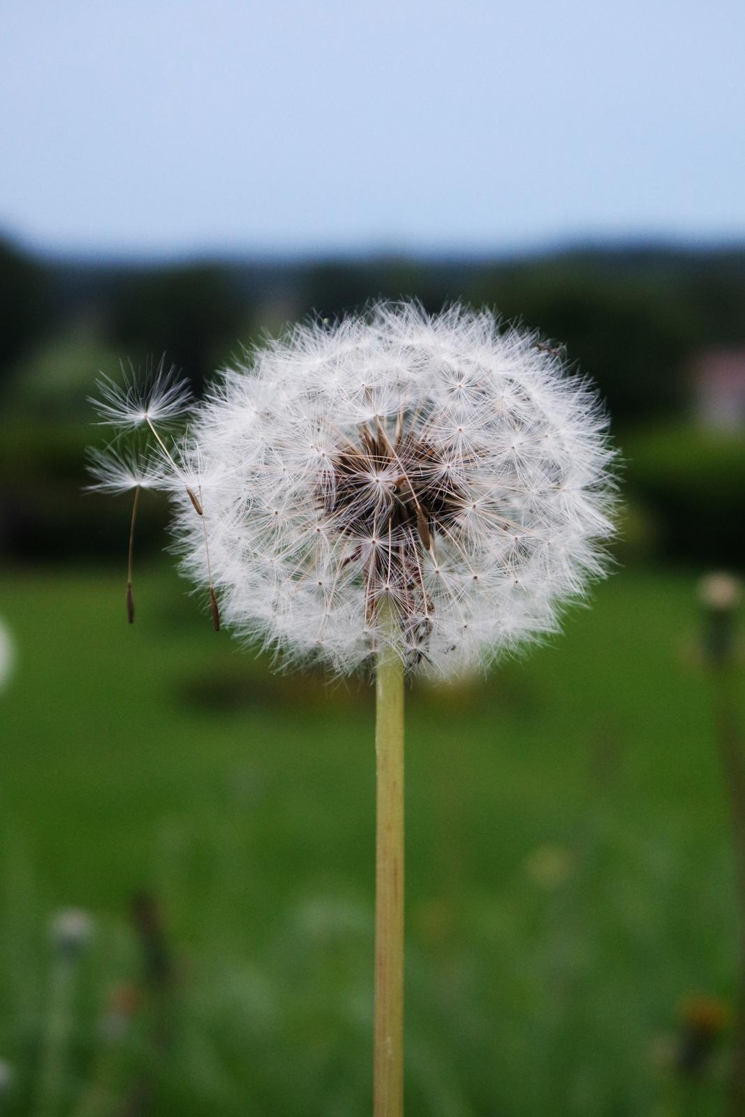 Pissenlit dans le jardin Dandelion in the garden photo du mois by United States of paris usofparis blog