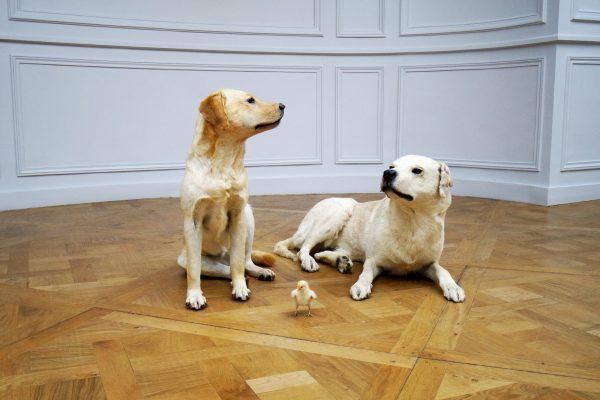 """""""Je suis le petit poussin, et les chiens c'est ma famille"""""""