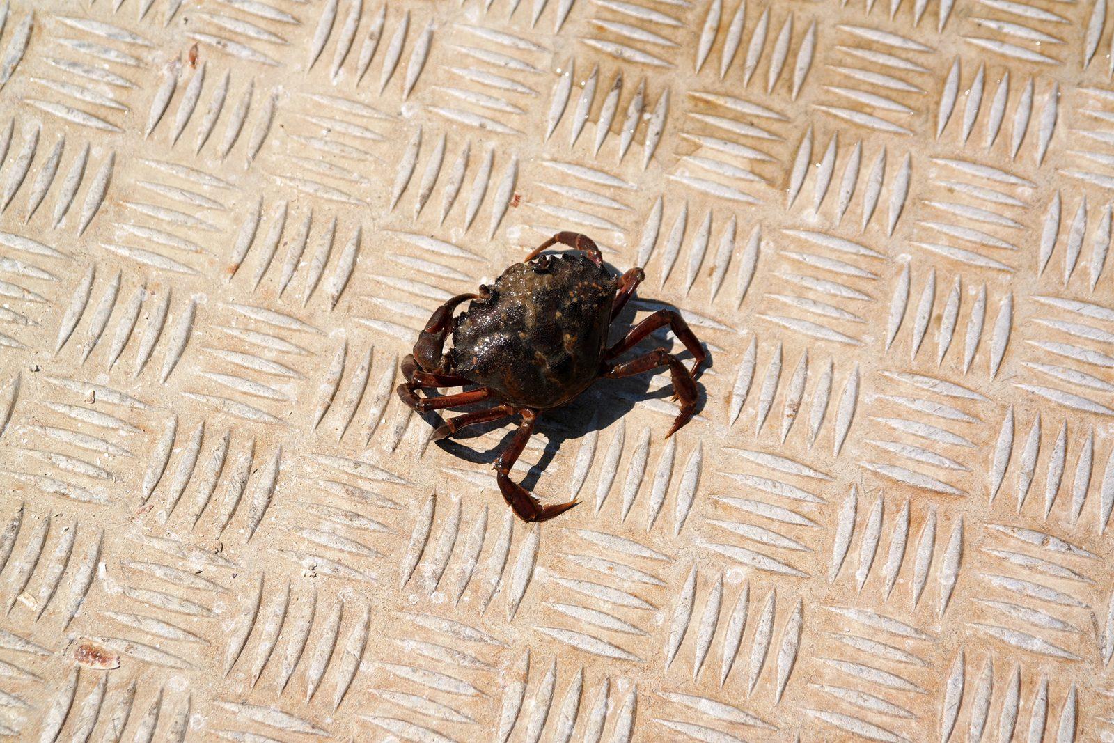 Crabe tombé d une poche a huitres bateau eole bassin d arcachon tourisme vacances sortie ostréiculture photo usofparis blog
